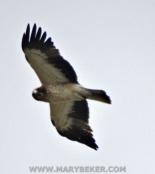 booted eagle spain Gaucin Ronda