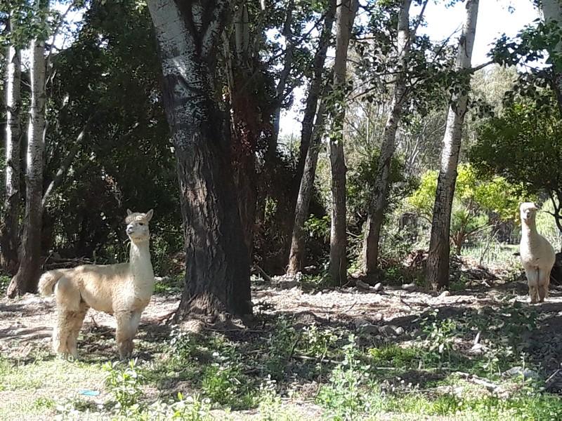 Alpacas in spain